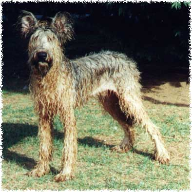 What does a Briard look like when wet?